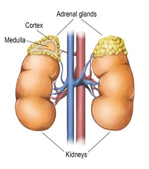 Adrenal_gland