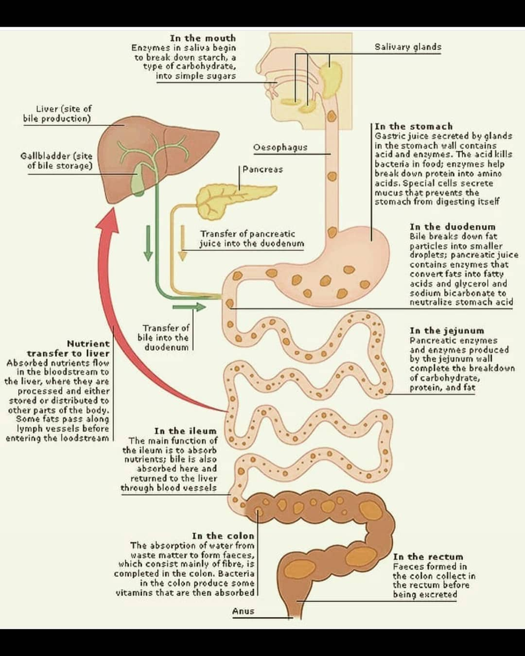 small intestine and fat